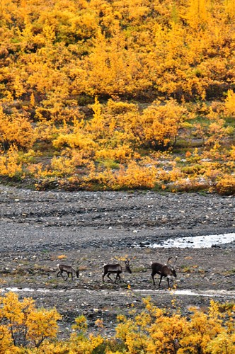 Caribou in Denali National Park, Aug. 2011