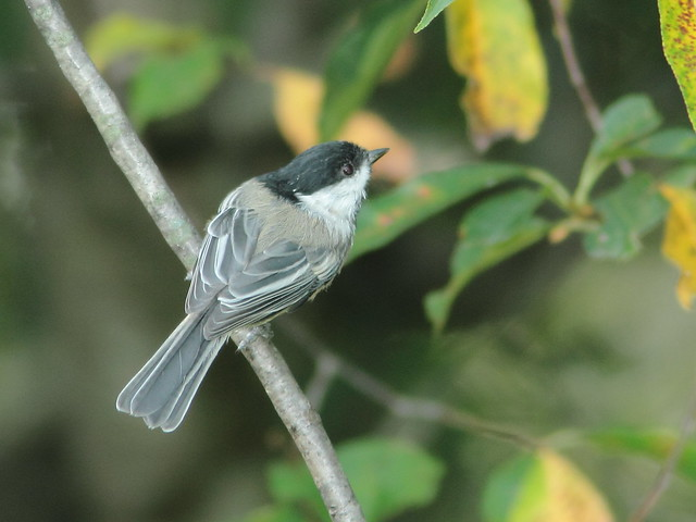 Black-capped Chickadee 2-20110902