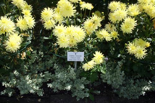 Schmuckdahlie mit Beschriftung - Botanischer Garten München