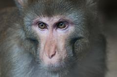 Rhesus monkey (Jan 1147) Tags: animals monkey belgium dieren captivity wow1 wow2 destelbergen cebusapella resusaap peregrino27life flickrstruereflection1