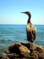 Cormorano (Reflexionist) Tags: sardegna sea summer bird animals nikon rocks mare estate natura uccelli cormorant animali scogli phalacrocoraxcarbo kormoran cormorano bidderosa nikonitalia nikons225