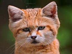 Sand cat portrait (Tambako the Jaguar) Tags: portrait brown france cute face cat zoo sand nikon feline small kitty alsace mulhouse d700