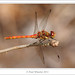 Common Darter ♂