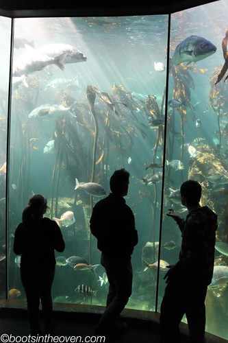 Kelp Forest habitat, Two Oceans Aquarium