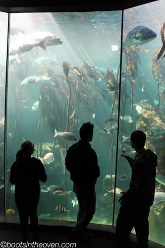 Kelp Forest habitat, Two Oceans Aquarium