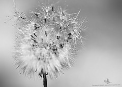 We Are One.. (mzna al.khaled) Tags: light bw detail macro closeup canon drops spring focus dof bokeh saudi closer facebook natrue flikcr sigma105   macrolife  dropsworld  mzna