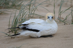 Gannet-105 (Andrew Panshin) Tags: rescue bird beach wildlife australia queensland fraserisland fishingline easternbeach nativebird australasiangannet canon5dmk2