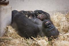 2011-09-06-12h19m09.272P0082 (A.J. Haverkamp) Tags: amsterdam dierentuin httpwwwartisnl artis thenetherlands gorilla pobrotterdamthenetherlands dob03061985 pobamsterdamthenetherlands dob04092011 canonef70200mmf28lisusmlens shambe zoo shindy sindy
