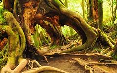 Yakusugi, Yakushima (shrinathk) Tags: park forest moss nikon hiking national yakushima sugi kyushu d90 18200vrii miyanouradake kirishimayaku yakusugiforest osumiislands shirataniunsuikyoforest