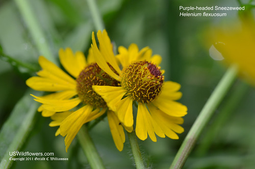 Purple-headed Sneezeweed, Purplehead Sneezeweed - Helenium flexuosum