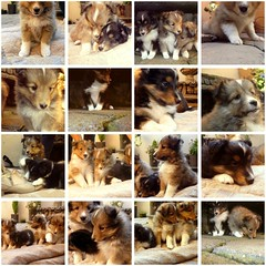 Babies (Anne Larios) Tags: cute dogs collie babies babydogs