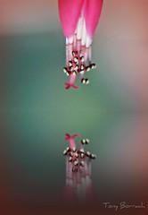 IMG_052 (Tony Borrach) Tags: brazil closeup brasil niceshot bresil brasilien tony reflexo brasile sul brsil sudamerica americadosul brazili wow1 sudamrica sdamerika  itagua itaguai tonyborrach  sudamerique canonpowershota590is mygearandme ringexcellence flickrhivemindgroup floritaguariodejaneirobrasiltonyborrachmacroredpicnikphotoscapemacko 11desetembrode2011