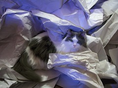 cat and packing paper (babelglyph) Tags: sleeping up cat paper moving furry nap floor mask packing longhair kitty fluffy fluff pile curled supplies unpacking ragdoll bicolor