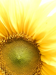 Sunflower (huoneenhaltijakissa) Tags: flowers autumn flower macro nature yellow closeup september fibonacci sunflower