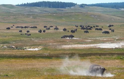 bizons Hayden Valley