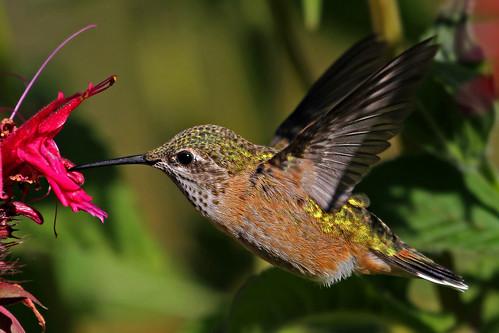 Rufous Hummingbird   (juvenile)