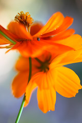 Orange twist with a ladybug (SolsticeSol) Tags: flowers orange flower floral vertical garden petals bright vibrant fresh polkadots orangeflower ladybird ladybug ladybugs lovely delicate florals ladybirds cosmos flowerpetals gardenflowers orangeflowers orangepetals beneficialbugs cosmosflowers gardenbugs vibrantorange beautifulflowerpictures beautifulflowerimages imagesofbeautifulflowers imagesofcosmosflowers freshflowerimages prettycosmosflowers cosmosflowerimages orangecosmosflowers goodgardenbugs