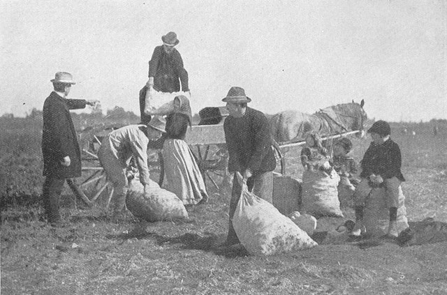 potato_harvesting_1896