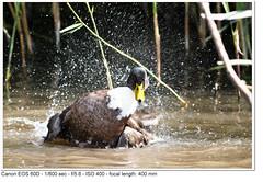 2011_08_24_1680 (John P Norton) Tags: bird fauna duck f56 aperturepriority 1800sec ef400mmf56lusm focallength400mm canoneos60d copyright2011johnnorton