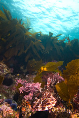 cabezon3Sept16-11 (divindk) Tags: fish underwater scuba diving scubadiving channelislands anacapa kelpforest underwaterphotography diverdoug