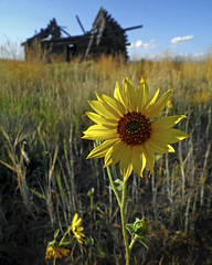 Hill City Wild Sunflower (Mountain Mike) Tags: cabin idaho homestead pioneercabin drylandfarming hillcity camasprairie edminsterphotography