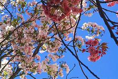 Bloesem. Hanami. Cherry Blossom. Fiore. Blte. Flor. A flower roof with blue sky. (George Ino) Tags: blue nature cherry spring blossom kali natur flor natuur bluesky sakura fiore blte bloesem hanami prunus voorjaar rosaceae  natureselegantshots mygearandmebronze phuspit phuspa