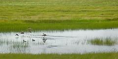 Sandhills prairie wetland life. (terranoesis) Tags: water nebraska ducks prairie wetland sandhills greatplains ogallalaaquifer