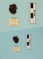 Tarsocera cassus