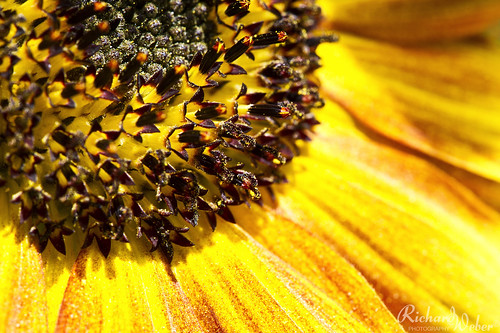 Life is a sunflower.. by Rizzoweb