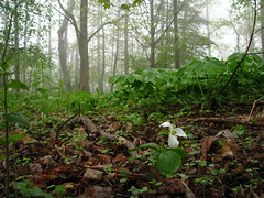 Lonely Trillium (Ad|perture) Tags: life park plants white toronto flower green rain fog forest woodland grey trillium spring woods may overcast vegetation scarborough 2011 guildwoodpark sognidreams topwgp