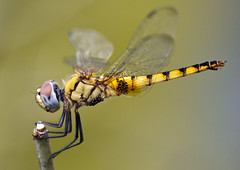 Dragonfly Cropped ~ on Explore 08/15/2011 #423 (Sandeep Santra) Tags: portrait detail macro closeup canon eos niceshot dragonfly micro baskettail 500d explored flickrestrellas ahqmacro efs55250mmf456is blinkagain stunningphotogpin bestphoto4gpinsep2011