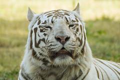 White Bengal Tiger (Panthera Tigris) (Charliebubbles) Tags: canon eos bengaltiger pantheratigris westmidlandssafaripark whitebengaltiger 400d canoneos400d