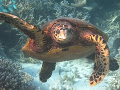 Maldives Underwater: Hawksbill Sea Turtle - presbi