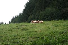 Alpenkühe