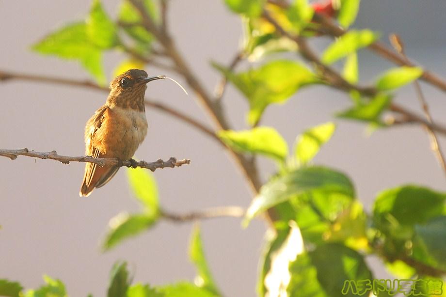 Allen's Hummingbird 082011