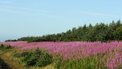 Sea of Fireweed (Todd Boland) Tags: flowers scenery fireweed epilobium chamerion