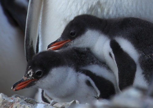 Gentoo Penguin chicks at Jougla Point, Antarctica by Liam Q