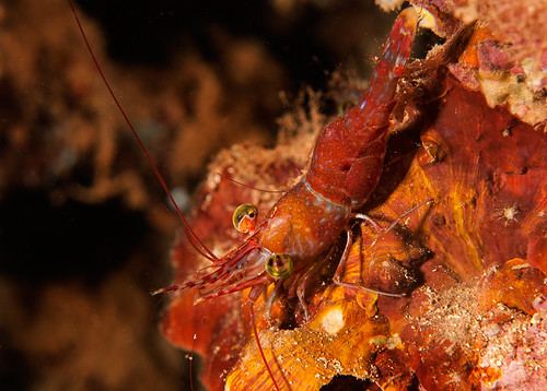 Hinge-Beaked Shrimp