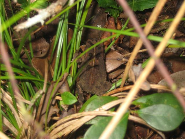 Маврикийская жаба