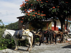 Esperando a sus dueos / Waiting for the owners (jjrestrepoa (busy)) Tags: horse caballo colombia heliconia mule antioquia mula