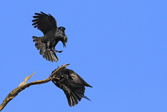 2 Ravens : Hide and Seek ??? (Clement Tang ** Busy **) Tags: bird nature inflight wildlife australia bluesky victoria crow birdwatcher wintermorning australianraven corvuscoronoides closetonature candlebarkpark