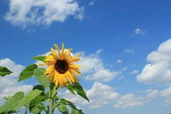 Sunflower / ひまわり