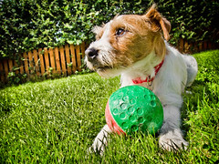 Holly the Jack Russell (CWhatPhotos) Tags: pictures camera dog pet pets colour dogs animal animals shop digital pen ball garden hair that lens jack happy four photo wire rat jrt paint foto russell play with image photos walk small picture adorable taken straw canine olympus run images holly wirehaired have terrier adobe fotos jackrussell penn pro wired kit rough olympuspen haired coloured which zuiko trot jackrussellterrier ratterrier contain called thirds lightroom x2 ratterriers ratter pl1 esystem 1442mm epl1 mzuiko cwhatphotos elp1