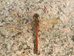 Unbekannte Libelle, NGID117296450 (naturgucker.de) Tags: deutschland mecklenburgvorpommern rgen naturguckerde carmindreisbach ngid117296450