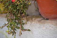 Salamanquesa (esta_ahi) Tags: barcelona españa fauna spain reptil salamanquesa tarentola mauritanica tarentolamauritanica gekkonidae sauropsida испания vilafrancadelpenedès