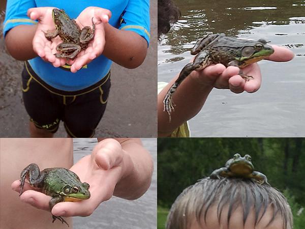 No break for frogs - Pas de pause pour les grenouilles