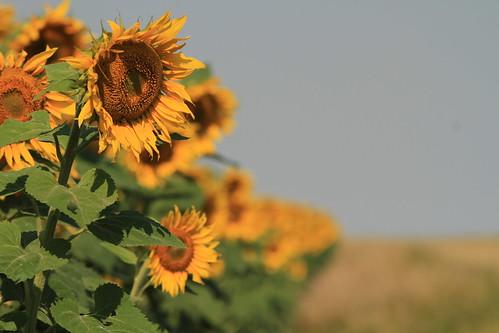 Alishas Sunflowers