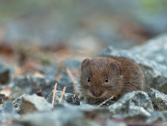 Bank Vole - The little runner (Billy Lindblom) Tags: nature mammal sweden wildlife tripod natur olympus 300mm vole zuiko bankvole clethrionomysglareolus olympuse30 billylindblom skogssork