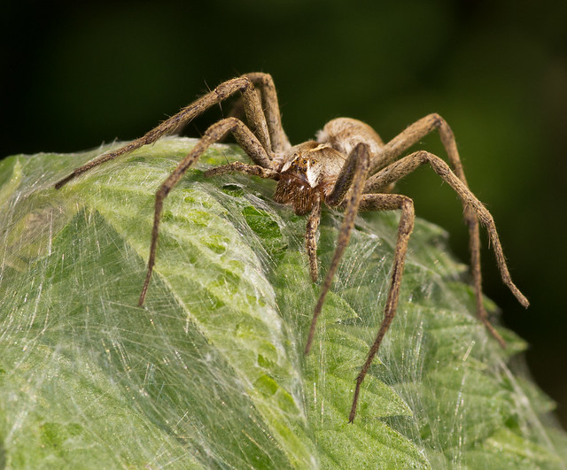 nursery web spider 2