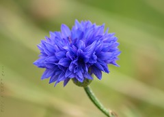 Blue Cornflower (Rick & Bart) Tags: flower nature natuur bloom wildflower bloem smrgsbord sinttruiden korenbloem centaureacyanus nieuwerkerken botg peygamberiei conrflower rickbart rickvink